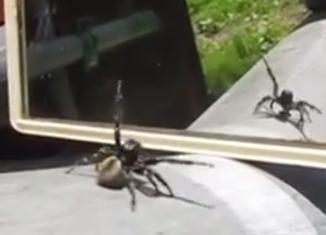Pauk pleše pred ogledalom
