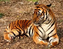 Tigrovi mogu proizvesti zvukove koji gase upalne procese u organizmu