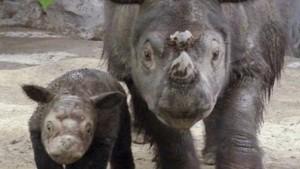 Sumatranski nosorog, ugrožena vrsta koje je preostalo još samo 200 primjeraka, glasa se frekvencijama koje utječu na potiskivanje depresije kod ljudi.