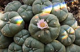 Kaktus Peyotl za kojeg je Castaneda tvrdio da kada ste u transu uzima ljudsko obličje i govori a posebno ga svetim smatra pleme Tarahumara koje ga naziva El Santo Nino de Peyotl