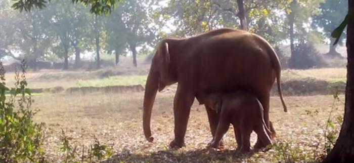 Slonica je kopala rupu 11 sati da bi spasila svoje dijete
