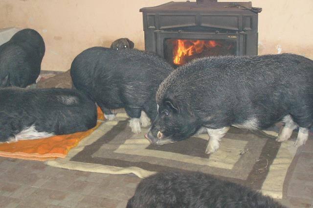 Darwin i ostala praseća ekipa (Duško, Oskar, Trixy, Frodo), svi spremni za večeru (inače im je u ovo doba dana vrijeme za večeru), ali sada su vrlo uznemireni cijelim 'novogodišnjim spektaklom', pa nemaju pojma o tome da im spremamo posebnu novogodišnju večeru, jer su sada zaokupljeni svojom frustracijom zbog pucnjeva koji se čuju izvana i uznemirenog laveža pasa s kojima inače žive u miru.