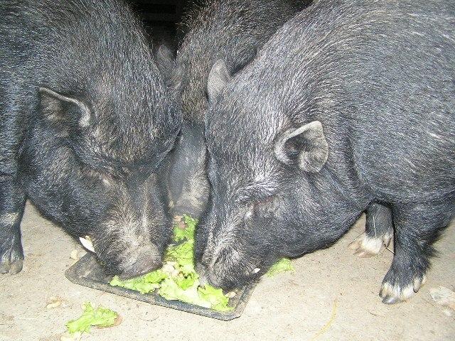 Svidjelo im se... No, iako inače jedu jedan pored drugoga, ali na barem 1,5 m razmaka, svaki iz svoje zdjelice, ovaj put su navalili svi zajedno u jednu porciju... tako su išli zajedno od porcije do porcije i ispraznili sve 3 porcije i, nadamo se, dobro se najeli. Očito im je bilo draže u ovu čudnu novogodišnju noć biti zajedno. Bilo ih je lijepo vidjeti kako od porcije do porcije uporno zajedno jedu. Moramo priznati da je ovo pravo Božje novogodišnje čudo, jer inače se bore za svaki zalogaj i jedu uvijek odvojeno.