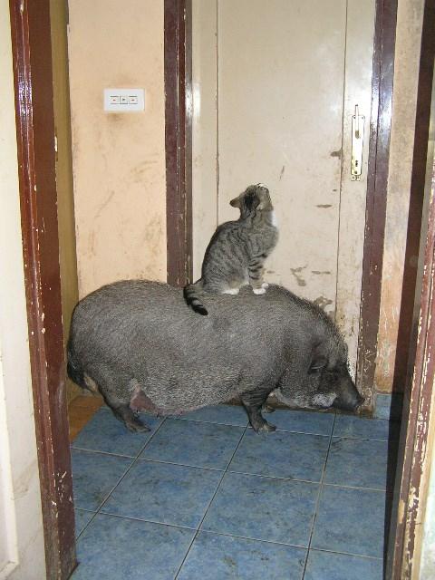 Mačak Tomy i prasica Emmy nestrpljivo čekaju pred kuhinjskim vratima da im stigne večera... bez brige, stigla im je...