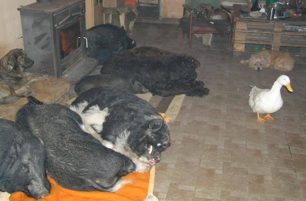 Deni koji je odabrao fotelju i Bela, naša patka za novogodišnju večeru, a ostali su radije na krevetu.