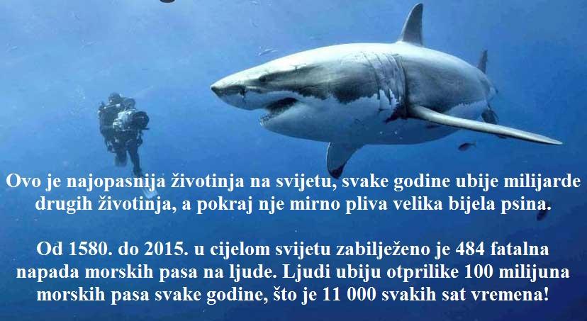 Ovo je najopasnija životinja na svijetu, svake godine ubije više milijardi drugih životinja. Pokraj nje mirno pliva velika bijela psina.  Od 1580. do 2015. u cijelom svijetu zabilježeno je 484 fatalna napada morskih pasa na ljude. Ljudi ubiju otprilike 100 milijuna morskih pasa svake godine, što je 11 000 svakih sat vremena!