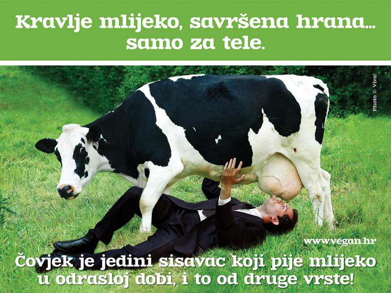 Čovjek je jedini sisavac koji pije mlijeko u odrasloj dobi i to od druge vrste!  Svrha mlijeka jest da hrani mladunče svoje vrste i zato je mlijeko svakog sisavca različito sastavom kako bi upravo bilo prilagođeno mladunčadi te određene vrste. Svaki sisavac odrastanjem gubi mogućnost probave mliječnog šećera pa tako i čovjek. Niti jedan sisavac ne pije mlijeko u odrasloj dobi.  Jedna šalica kravljega mlijeka prosječno sadrži i do sedam kapi gnoja, odnosno 500 milijuna somatskih stanica, oko 4.700.000 bakterija, 24 mg kolesterola, 6 g kazeina, a često i krv te fekalije. Mliječna industrija veliki je potrošač antibiotika, a nerijetko i hormona.