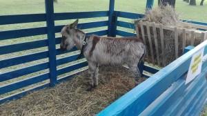 Porobljeno mlado magare Stipe, odvojeno od svoje majke i ostalih pripadnika svoje vrste, je u lošem stanju i tužno gleda u samo jednu točku.
