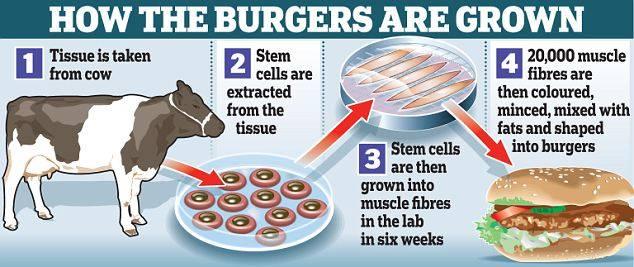 1. Tkivo se uzima od krave. 2. Matične stanice izdvajaju se iz tkiva. 3. Zatim matične stanice rastu u mišićna vlakana u laboratoriju kroz šest tjedana. 4. 20 000 mišićnih vlakana je obojeno, usitnjeno, pomiješano s masti i oblikovano u hamburger.