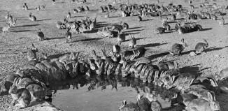 Pojilo - smrtonosno testiranje miksomatoze je u dvije godine dovelo do smanjenja broja kunića sa 600 milijuna na 100 milijuna. Otok Wardang, Australija, 1938.