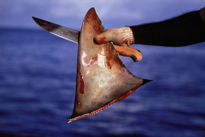 U azijskim zemljama česta je praksa rezanja peraja morskih pasa za juhu od peraja, popularno jelo koje se poslužuje na svečanim gozbama.